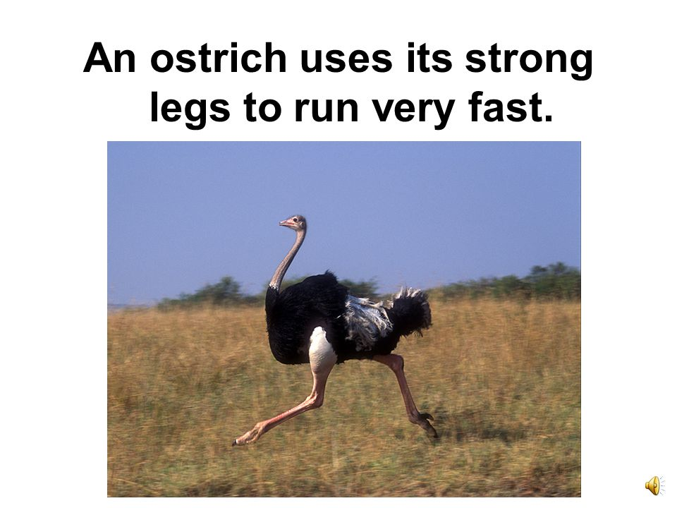 An ostrich uses its strong legs to run very fast.