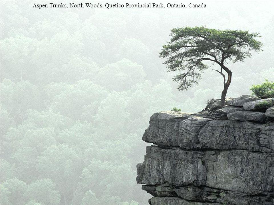 Aspen Trunks, North Woods, Quetico Provincial Park, Ontario, Canada