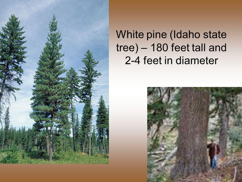 White pine (Idaho state tree) – 180 feet tall and 2-4 feet in diameter