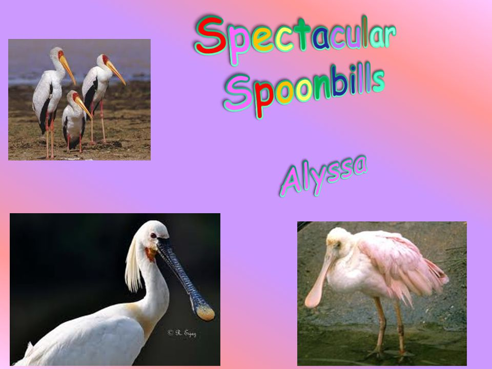 Did you ever hear of a spoonbill stork.If you didn't, in this report I will tell you about one.