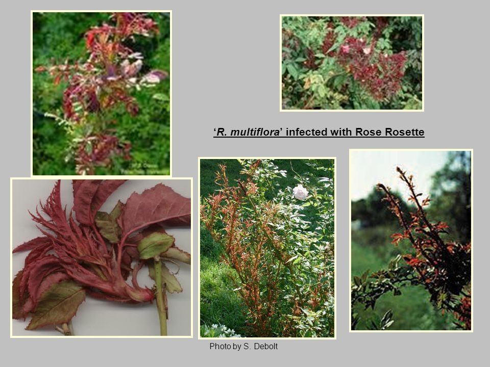 Photo by S. Debolt 'R. multiflora' infected with Rose Rosette