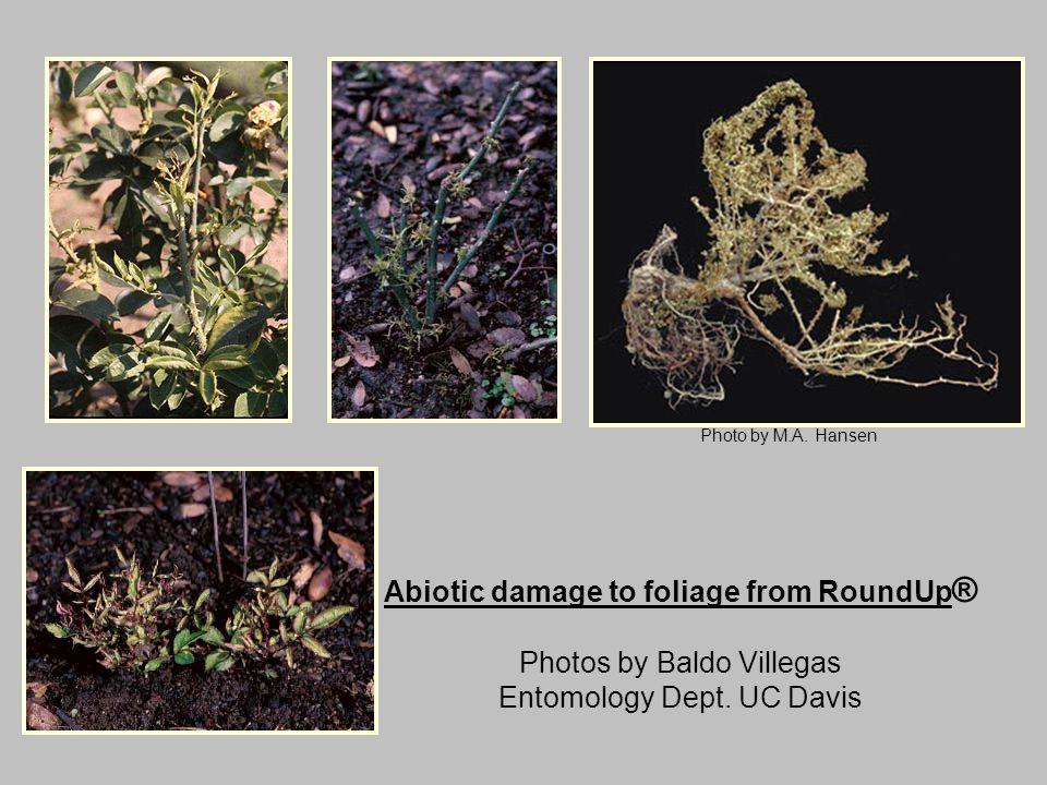 Abiotic damage to foliage from RoundUp ® Photos by Baldo Villegas Entomology Dept. UC Davis Photo by M.A. Hansen