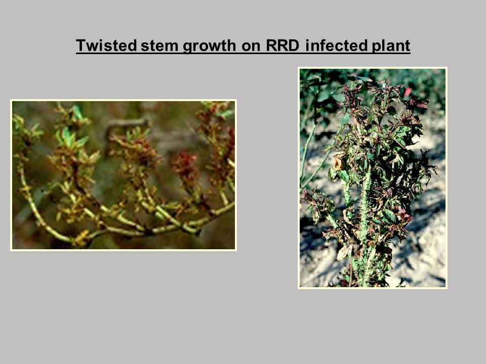 Twisted stem growth on RRD infected plant