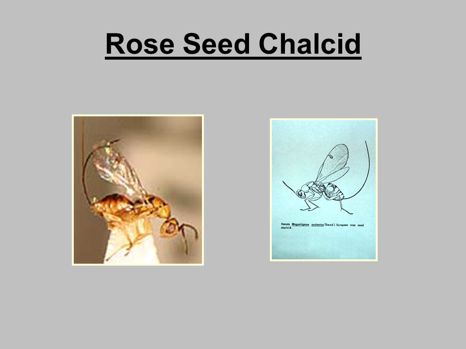 Rose Seed Chalcid
