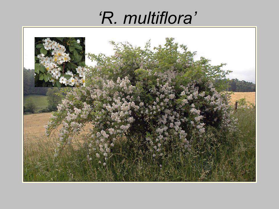 'R. multiflora'