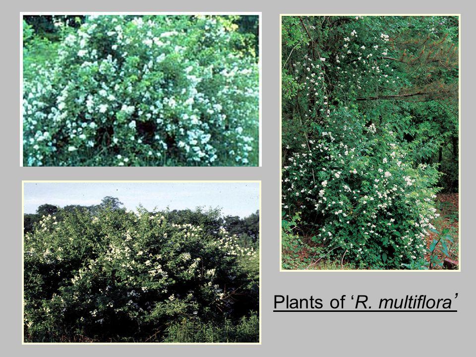 Plants of 'R. multiflora '