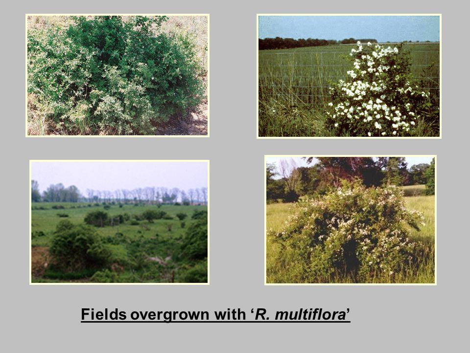 Fields overgrown with 'R. multiflora'