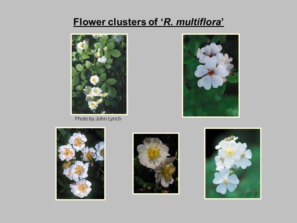 Flower clusters of 'R. multiflora' Photo by John Lynch