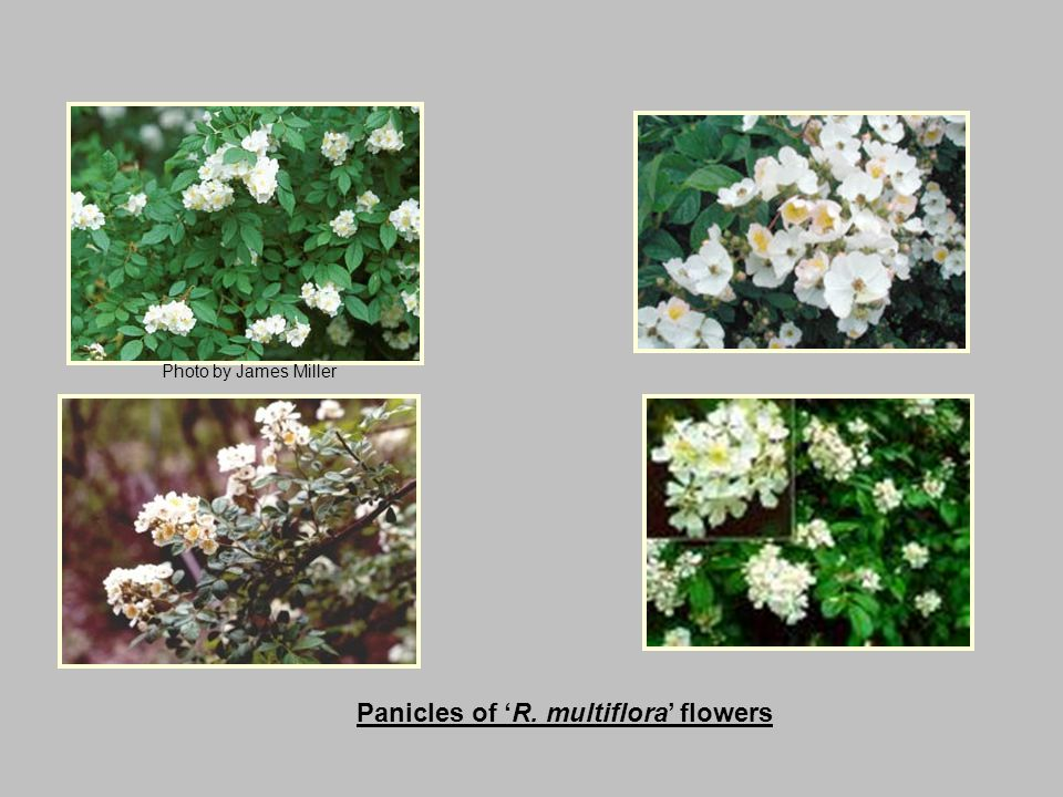 Panicles of 'R. multiflora' flowers Photo by James Miller