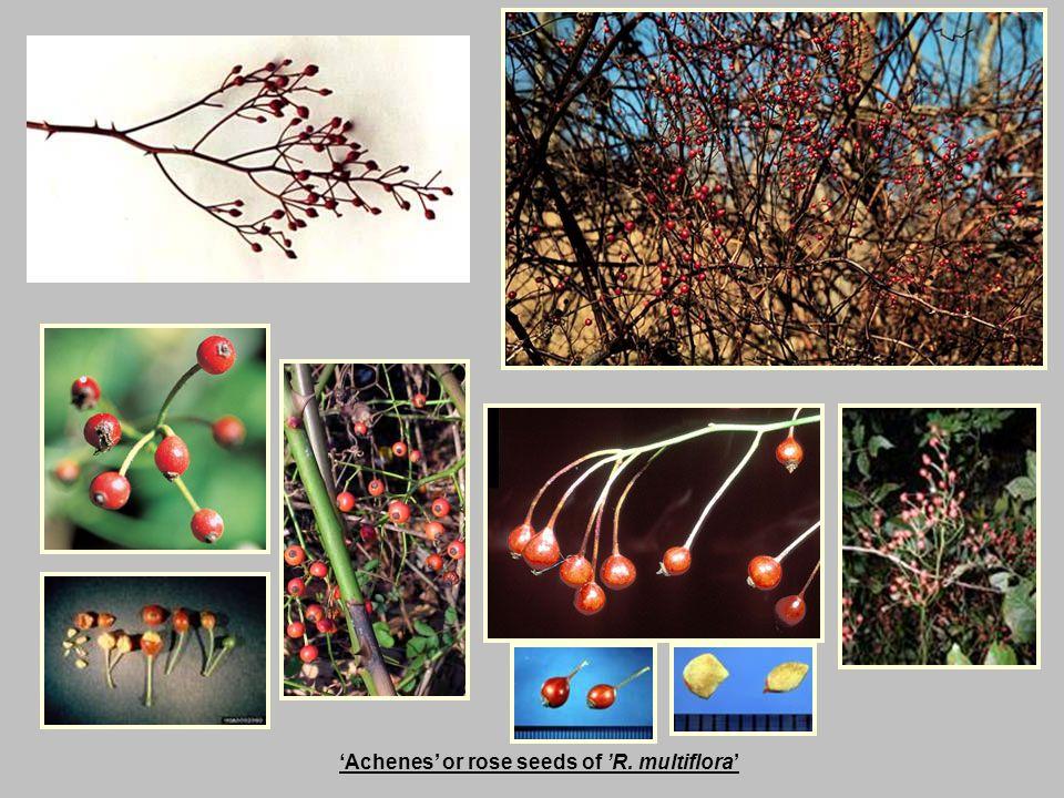 'Achenes' or rose seeds of 'R. multiflora'