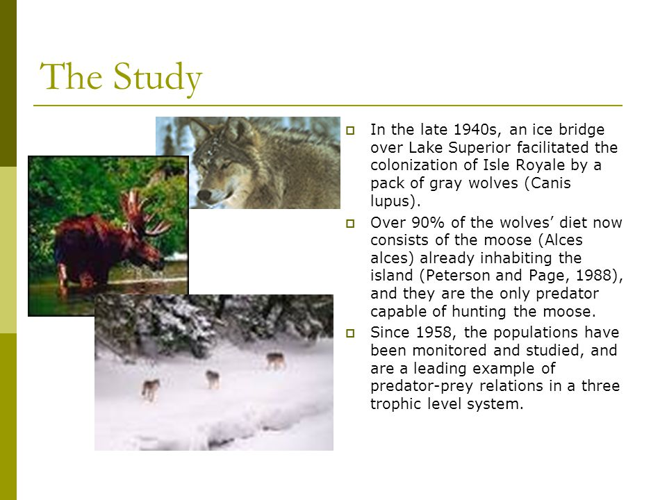 The Study  In the late 1940s, an ice bridge over Lake Superior facilitated the colonization of Isle Royale by a pack of gray wolves (Canis lupus). 
