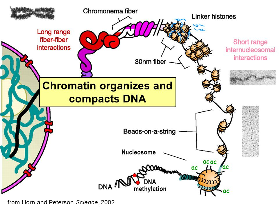 Nucleosome Chromatin organizes and compacts DNA from Horn and Peterson Science, 2002 ac DNA methylation