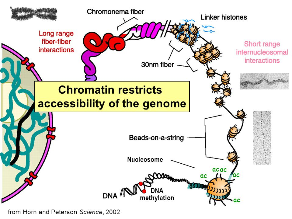 Nucleosome Chromatin restricts accessibility of the genome from Horn and Peterson Science, 2002 ac DNA methylation