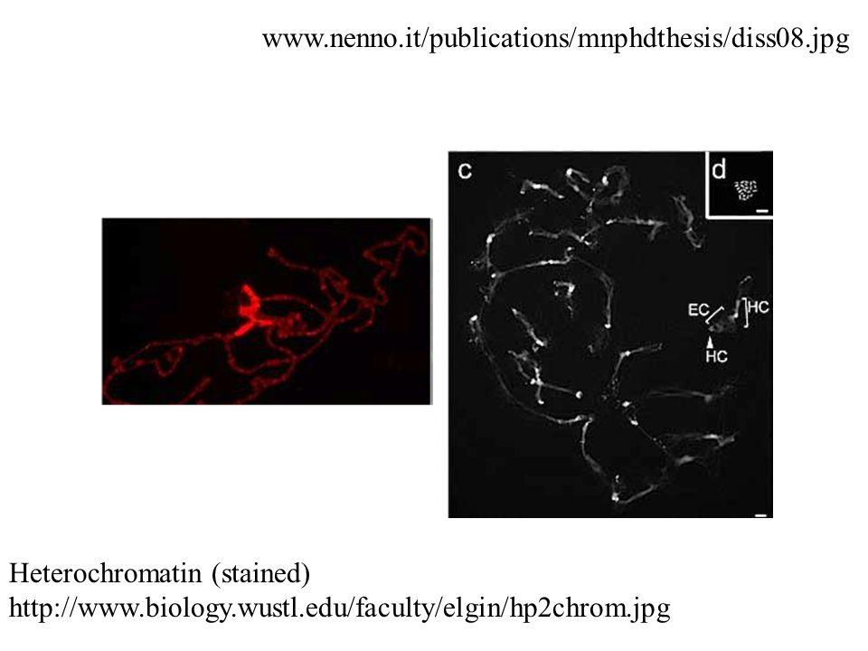 Heterochromatin (stained) http://www.biology.wustl.edu/faculty/elgin/hp2chrom.jpg www.nenno.it/publications/mnphdthesis/diss08.jpg