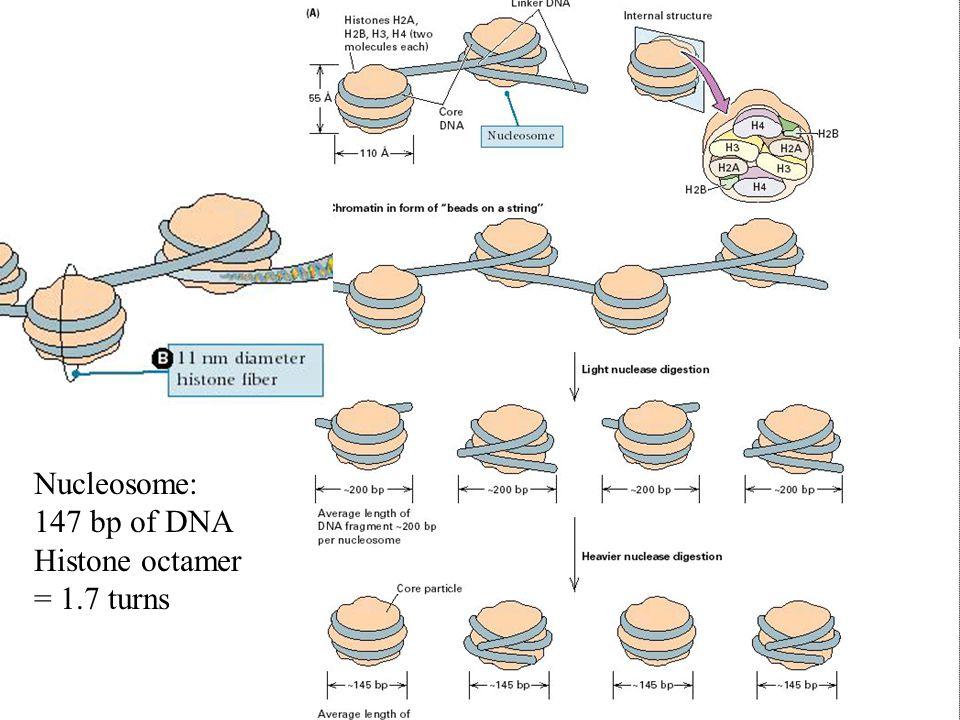 Nucleosome: 147 bp of DNA Histone octamer = 1.7 turns