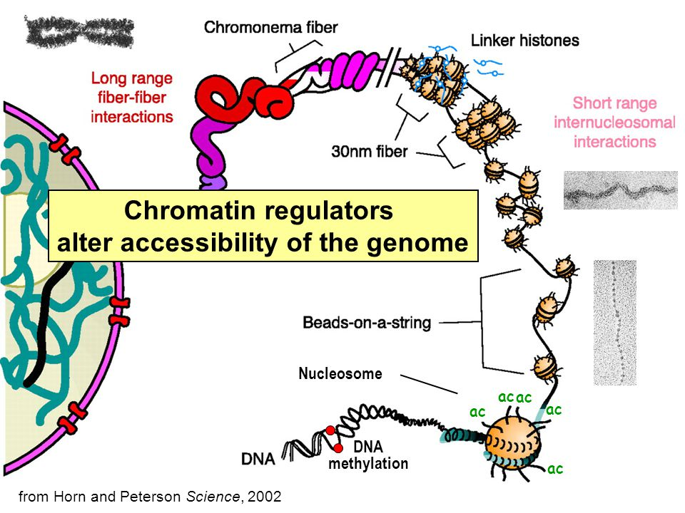 Nucleosome Chromatin regulators alter accessibility of the genome from Horn and Peterson Science, 2002 ac DNA methylation