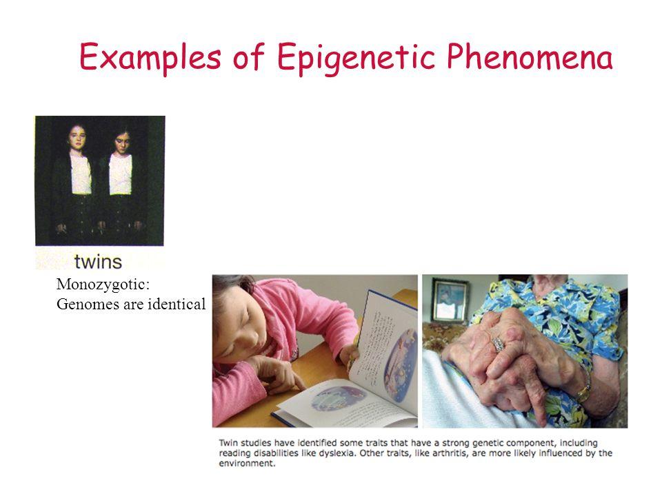 Examples of Epigenetic Phenomena Monozygotic: Genomes are identical