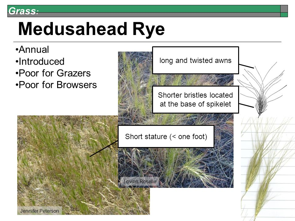 Grass : Medusahead Rye Annual Introduced Poor for Grazers Poor for Browsers Jennifer Peterson Lovina Roselle Short stature (< one foot) long and twisted awns Shorter bristles located at the base of spikelet