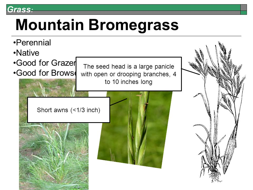 Grass : Mountain Bromegrass Perennial Native Good for Grazers Good for Browsers The seed head is a large panicle with open or drooping branches, 4 to 10 inches long Short awns (<1/3 inch)