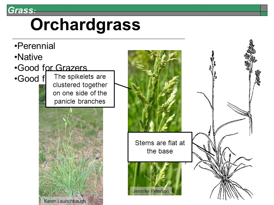 Grass : Karen Launchbaugh Orchardgrass Perennial Native Good for Grazers Good for Browsers Jennifer Peterson The spikelets are clustered together on one side of the panicle branches Stems are flat at the base