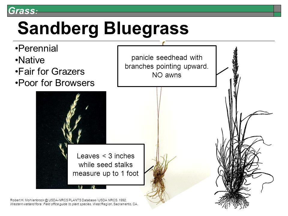 Grass : Sandberg Bluegrass Robert H. Mohlenbrock @ USDA-NRCS PLANTS Database / USDA NRCS.