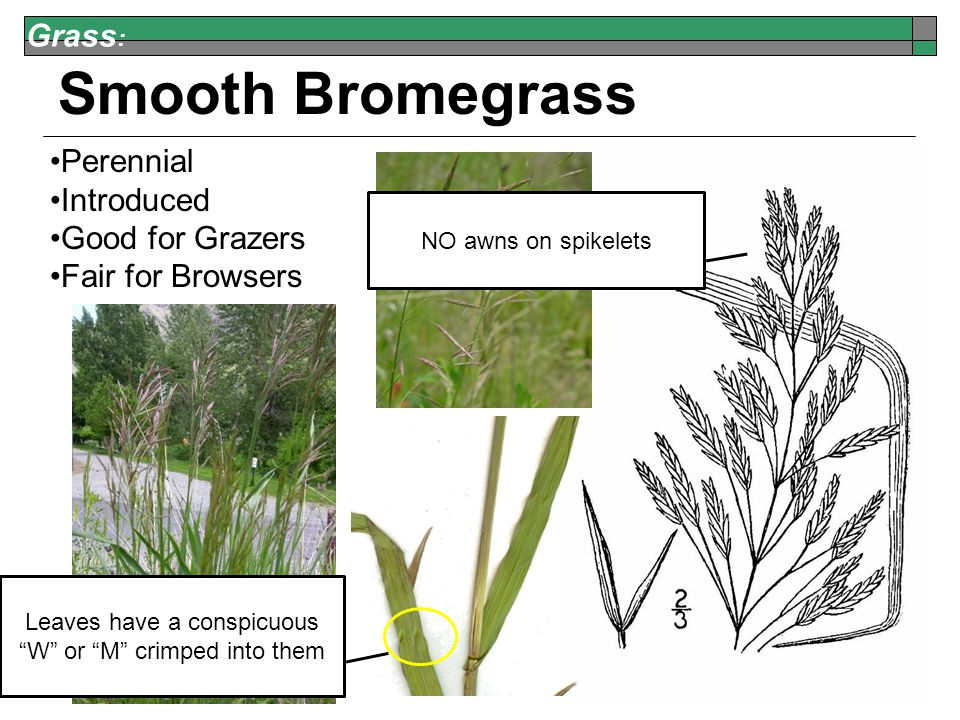Grass : Smooth Bromegrass Perennial Introduced Good for Grazers Fair for Browsers NO awns on spikelets Leaves have a conspicuous W or M crimped into them