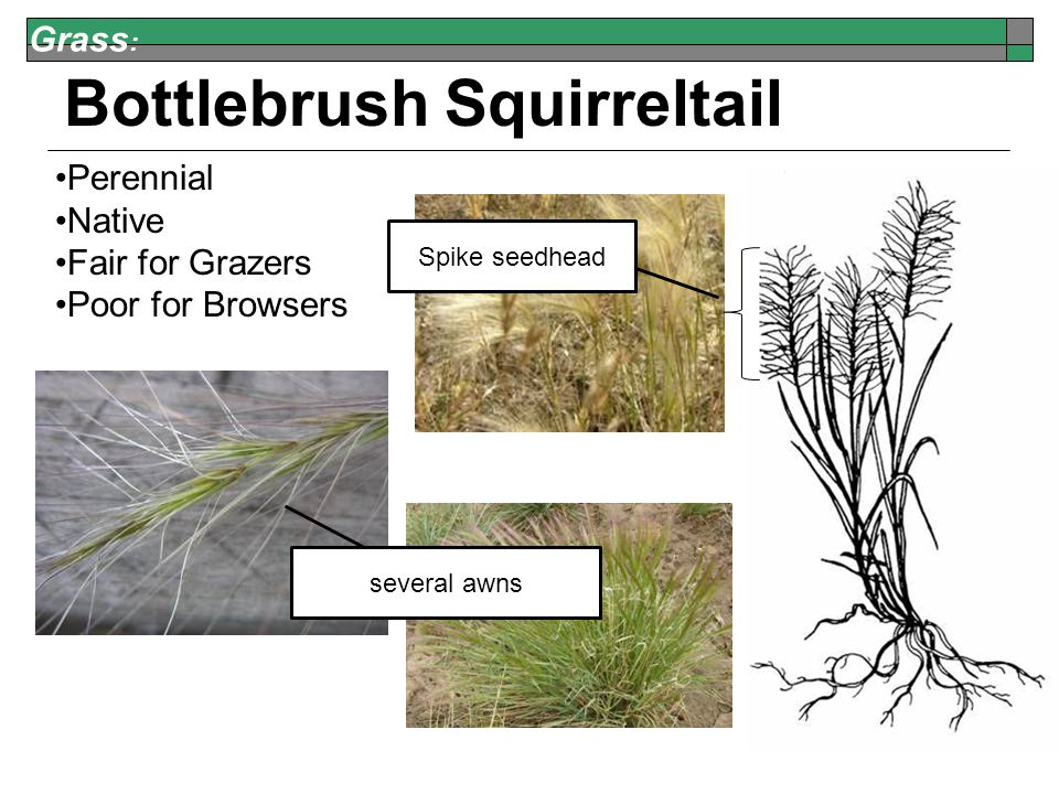 Grass : Bottlebrush Squirreltail Perennial Native Fair for Grazers Poor for Browsers Spike seedhead several awns
