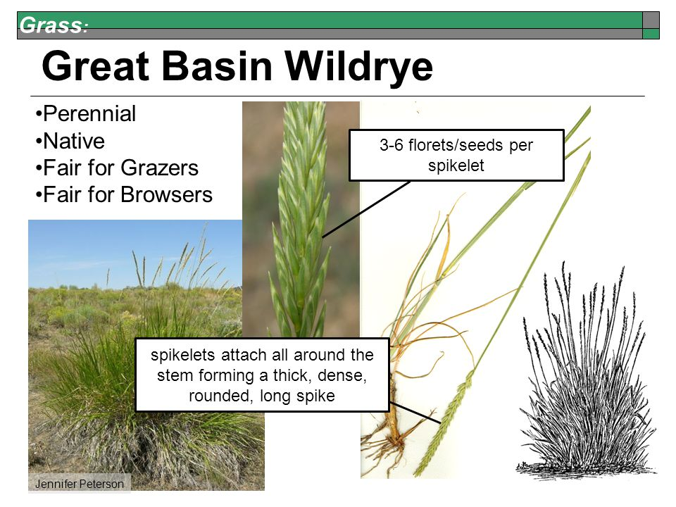 Grass : Great Basin Wildrye Perennial Native Fair for Grazers Fair for Browsers Jennifer Peterson 3-6 florets/seeds per spikelet spikelets attach all around the stem forming a thick, dense, rounded, long spike