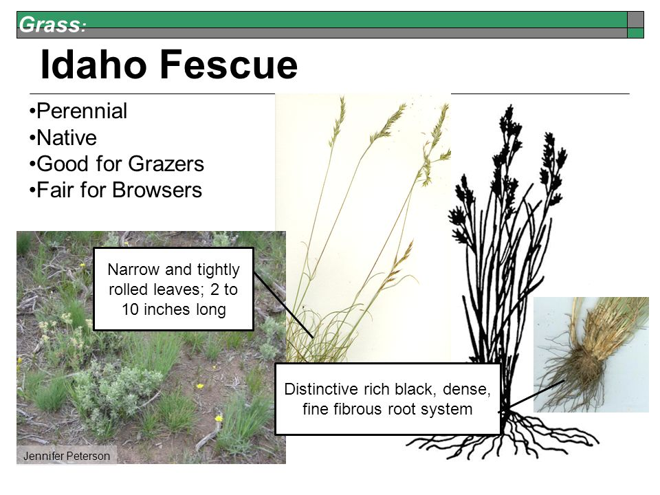 Grass : Idaho Fescue Perennial Native Good for Grazers Fair for Browsers Jennifer Peterson Narrow and tightly rolled leaves; 2 to 10 inches long Distinctive rich black, dense, fine fibrous root system