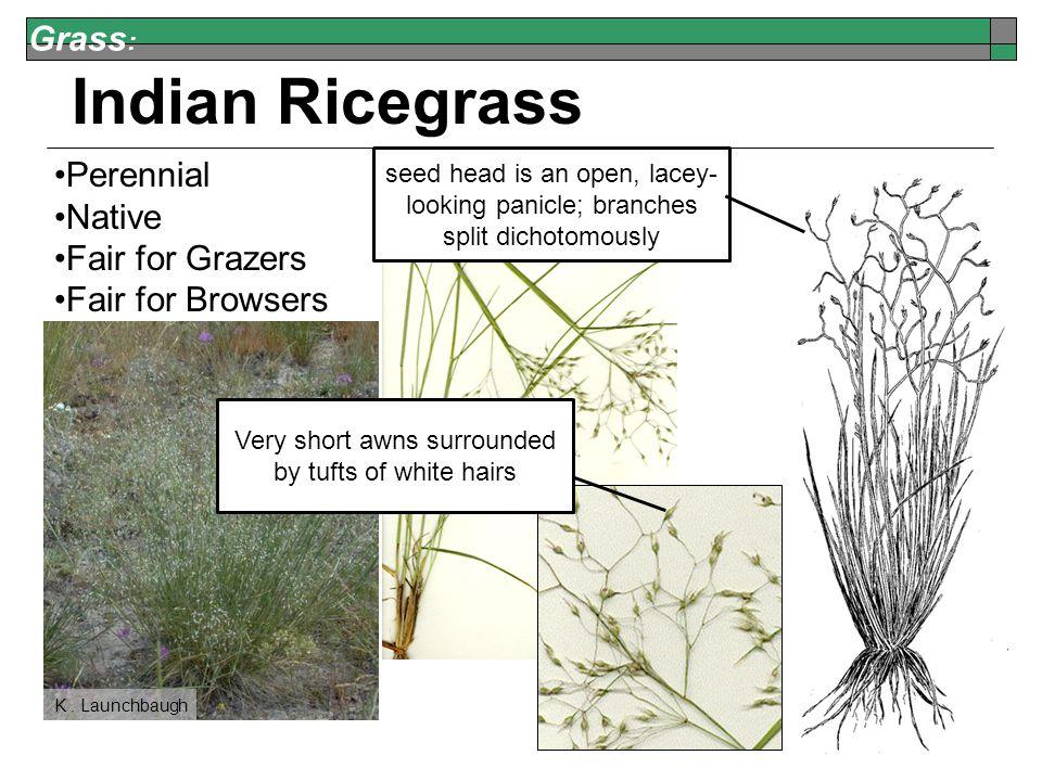 Grass : Indian Ricegrass Perennial Native Fair for Grazers Fair for Browsers K.