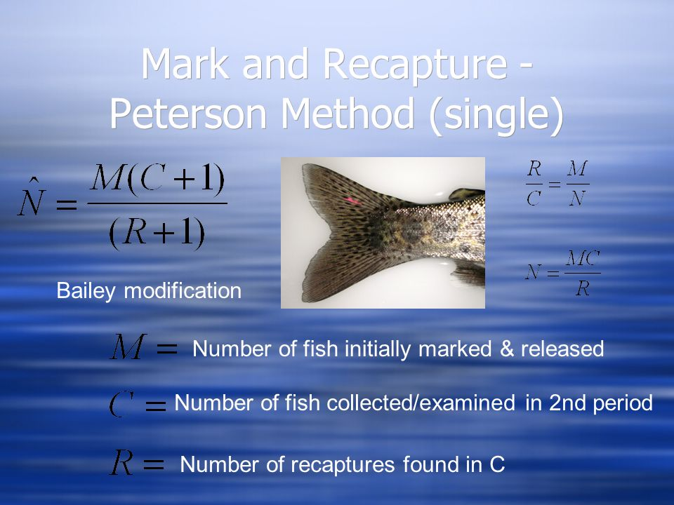 Mark and Recapture - Peterson Method (single) Number of fish initially marked & released Number of fish collected/examined in 2nd period Number of recaptures found in C Bailey modification