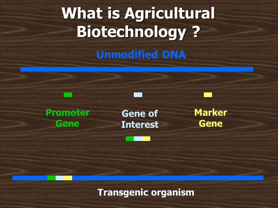 What is Agricultural Biotechnology ? Unmodified DNA Gene of Interest Promoter Gene Marker Gene Transgenic organism