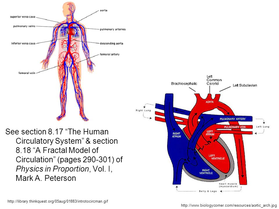 """See section 8.17 """"The Human Circulatory System"""" & section 8.18 """"A Fractal Model of Circulation"""" (pages 290-301) of Physics in Proportion, Vol. I, Mark"""