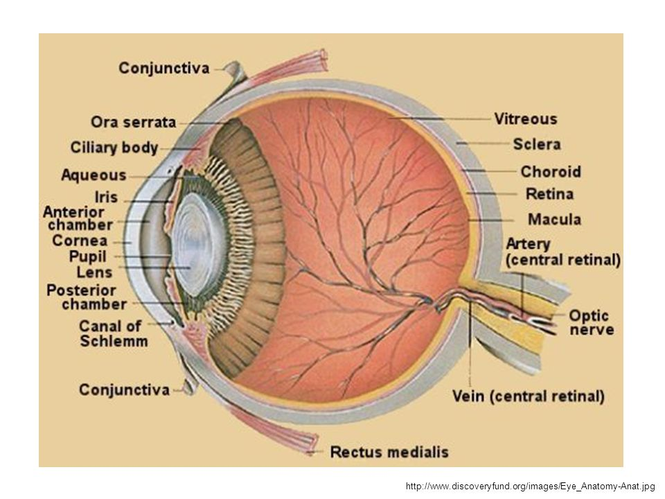 http://www.discoveryfund.org/images/Eye_Anatomy-Anat.jpg