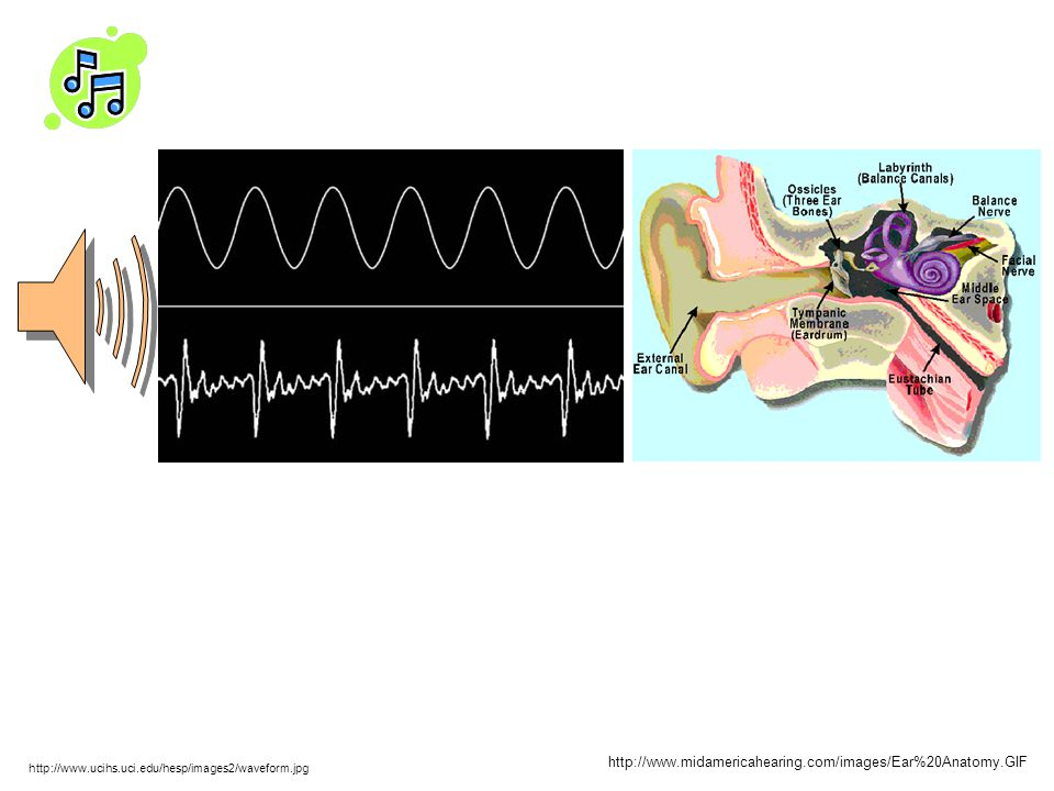 http://www.midamericahearing.com/images/Ear%20Anatomy.GIF http://www.ucihs.uci.edu/hesp/images2/waveform.jpg