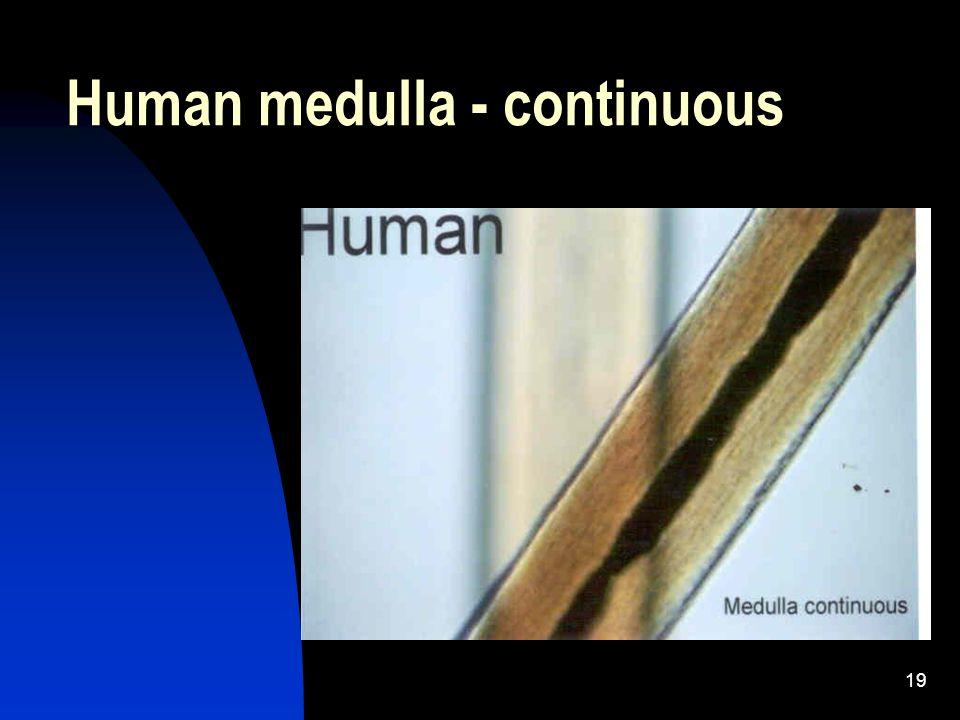 19 Human medulla - continuous