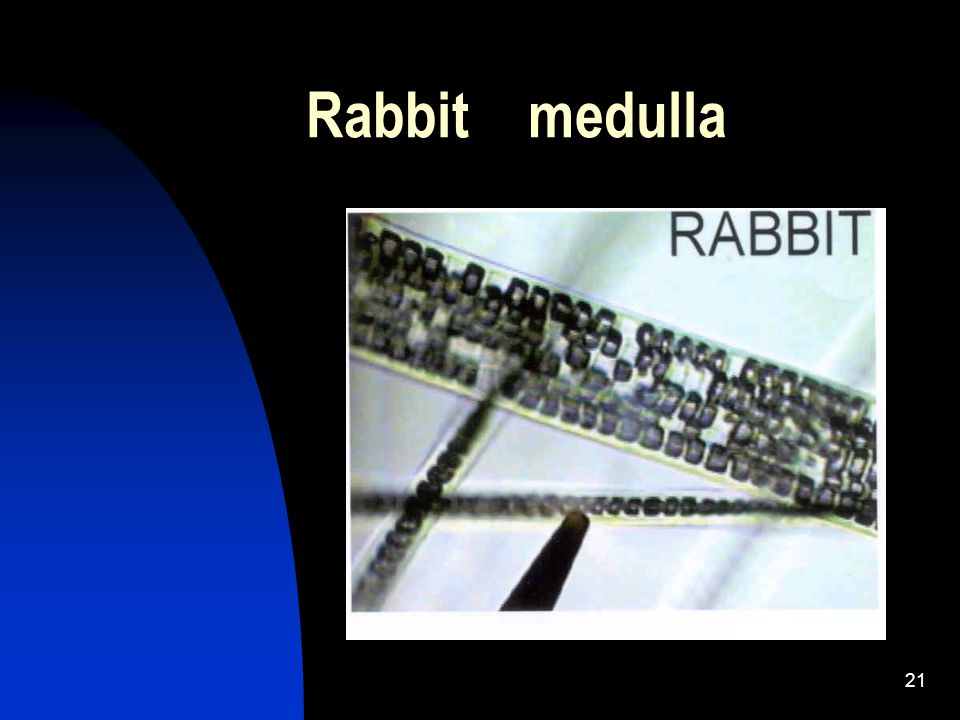 21 Rabbit medulla
