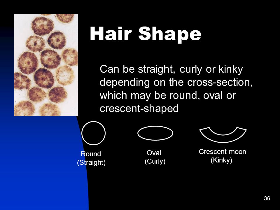 36 Hair Shape Can be straight, curly or kinky depending on the cross-section, which may be round, oval or crescent-shaped Round (Straight) Oval (Curly) Crescent moon (Kinky)