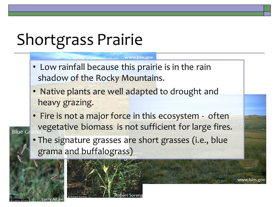 www.blm.gov Shortgrass Prairie Blue Grama Larry Allain Buffalograss Robert Soreng Low rainfall because this prairie is in the rain shadow of the Rocky Mountains.