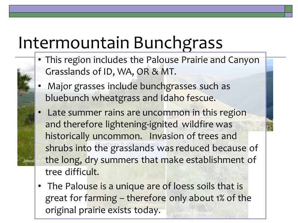 Intermountain Bunchgrass K.