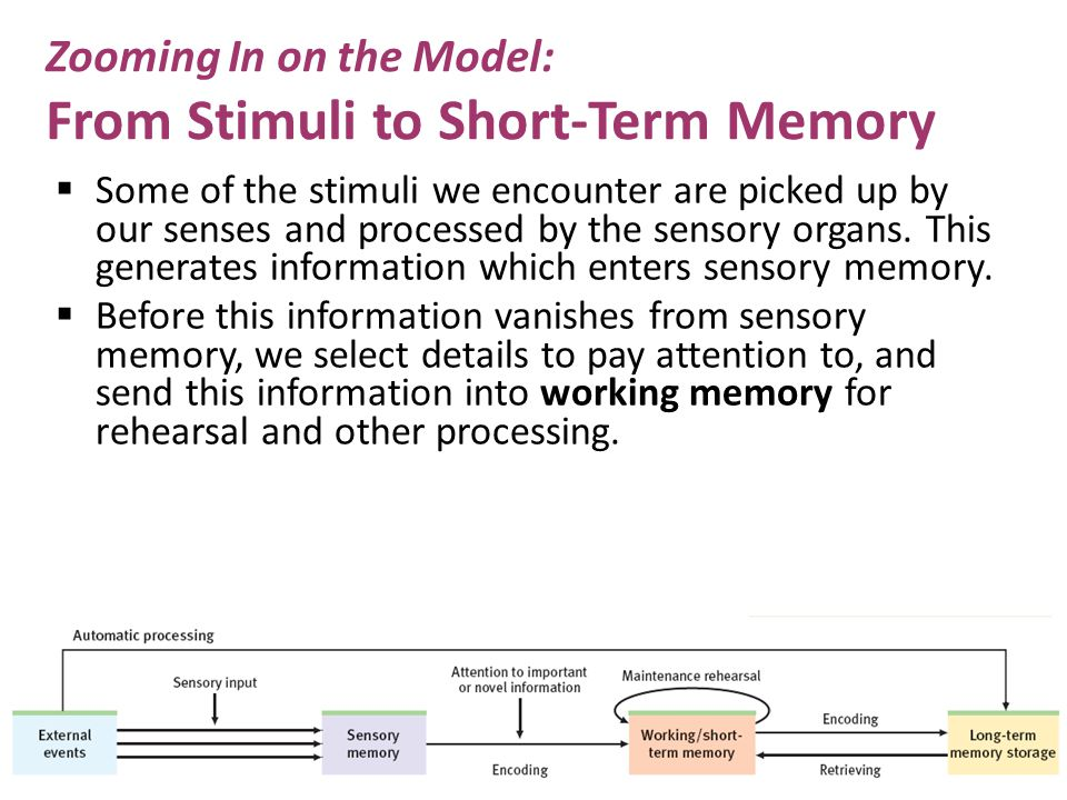 Zooming In on the Model: From Stimuli to Short-Term Memory  Some of the stimuli we encounter are picked up by our senses and processed by the sensory