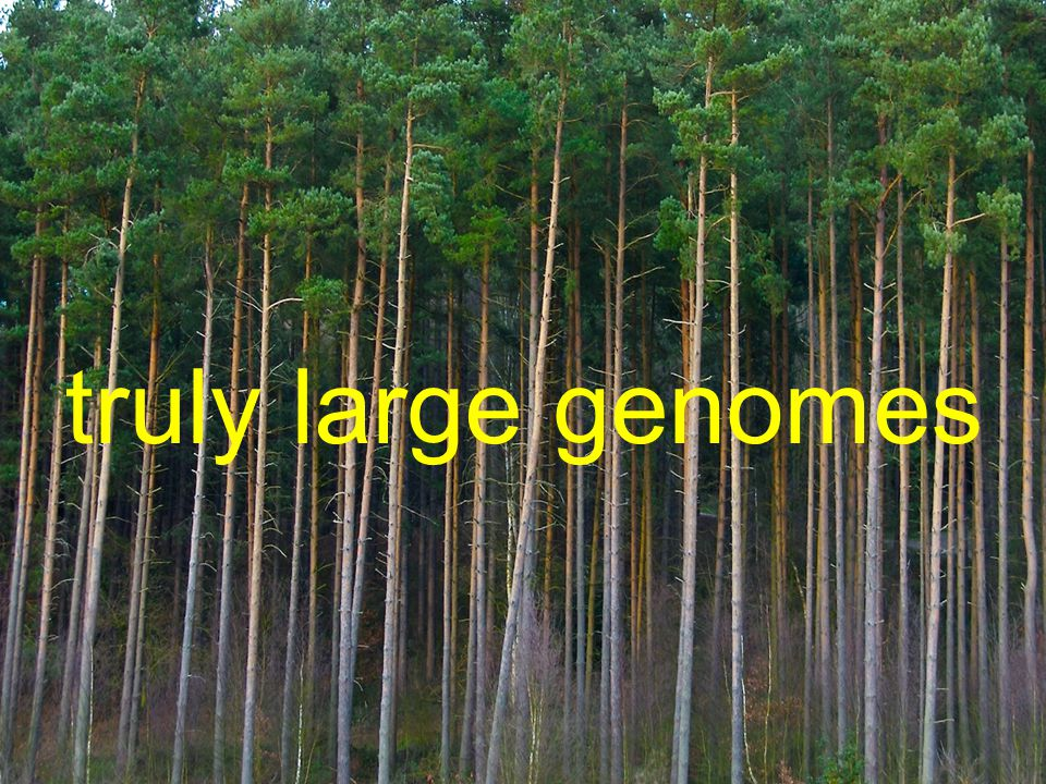 truly large genomes