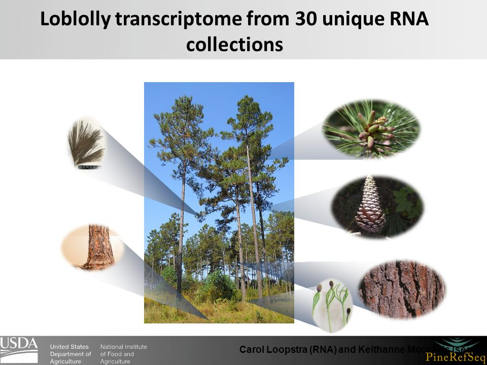 Loblolly transcriptome from 30 unique RNA collections Carol Loopstra (RNA) and Keithanne Mockaitis (sequencing)