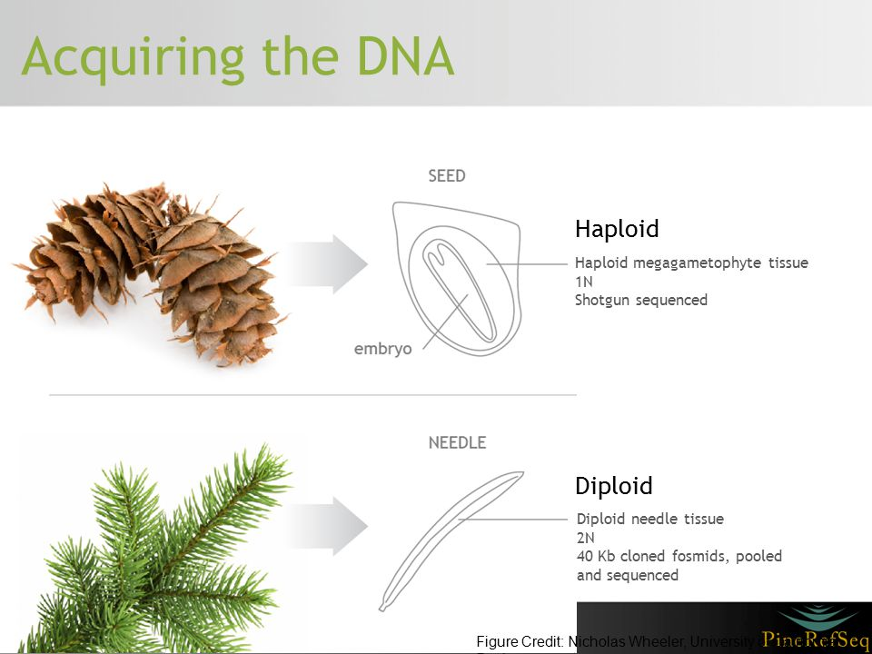Acquiring the DNA Haploid Haploid megagametophyte tissue 1N Shotgun sequenced Diploid Diploid needle tissue 2N 40 Kb cloned fosmids, pooled and sequen