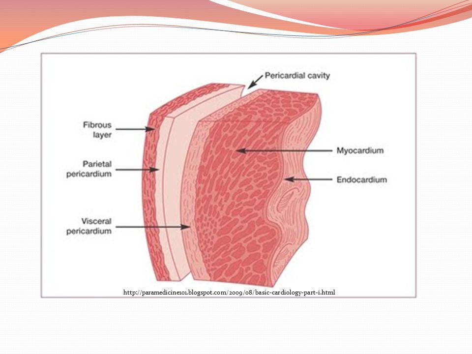 http://science.howstuffworks.com/environmental/life/human-biology/heart2.htm Inner Anatomy