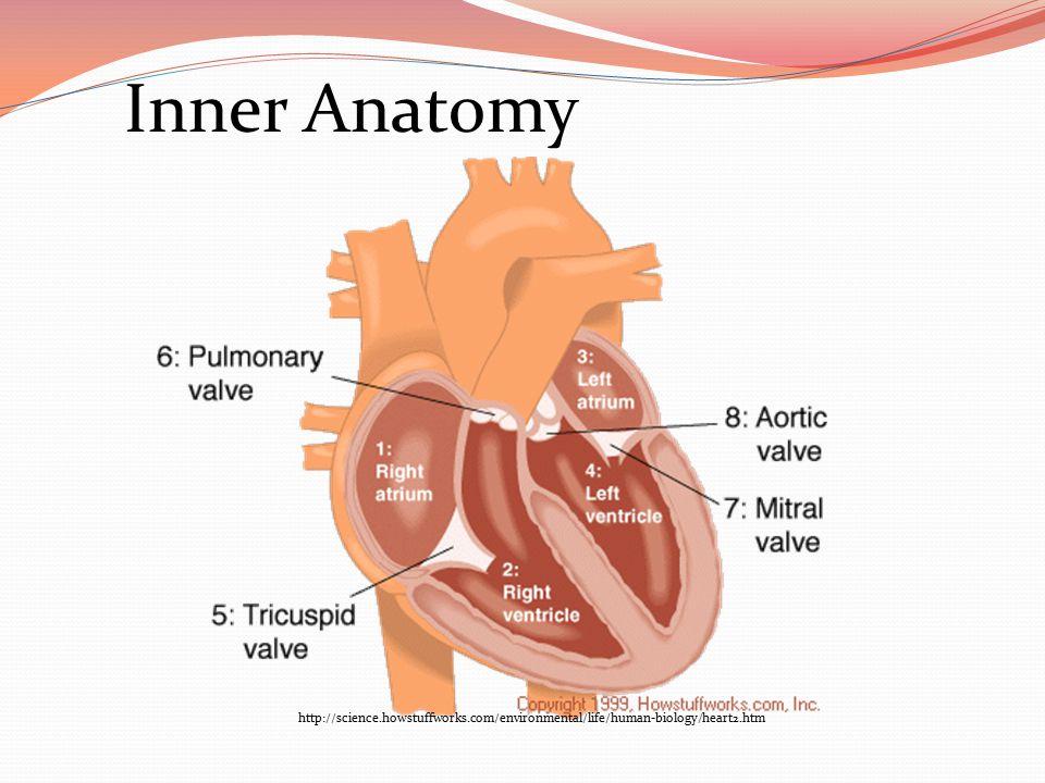 http://quizlet.com/2507160/external-heart-anatomy-pics-flash-cards/ Outer Anatomy AORTA SUPERIOR VENA CAVA PULMONARY TRUNK PULMONARY VEINS RIGHT ATRIUM LEFT ATRIUM RIGHT VENTRICLE LEFT VENTRICLE