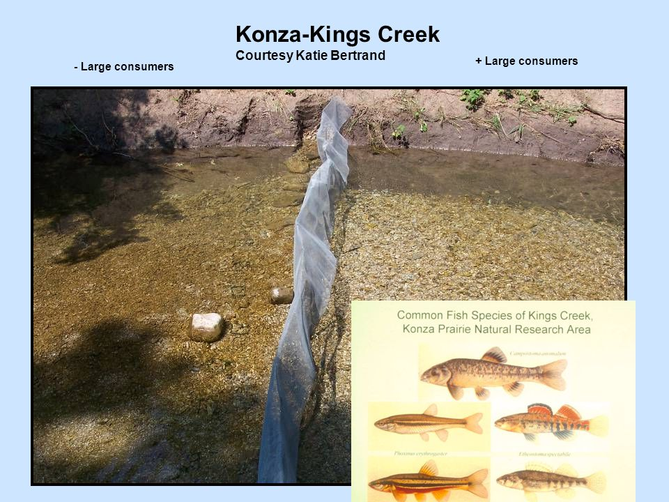 Konza-Kings Creek Courtesy Katie Bertrand - Large consumers + Large consumers