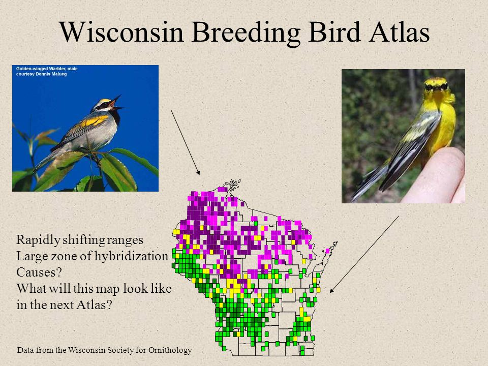 Wisconsin Breeding Bird Atlas Rapidly shifting ranges Large zone of hybridization Causes.