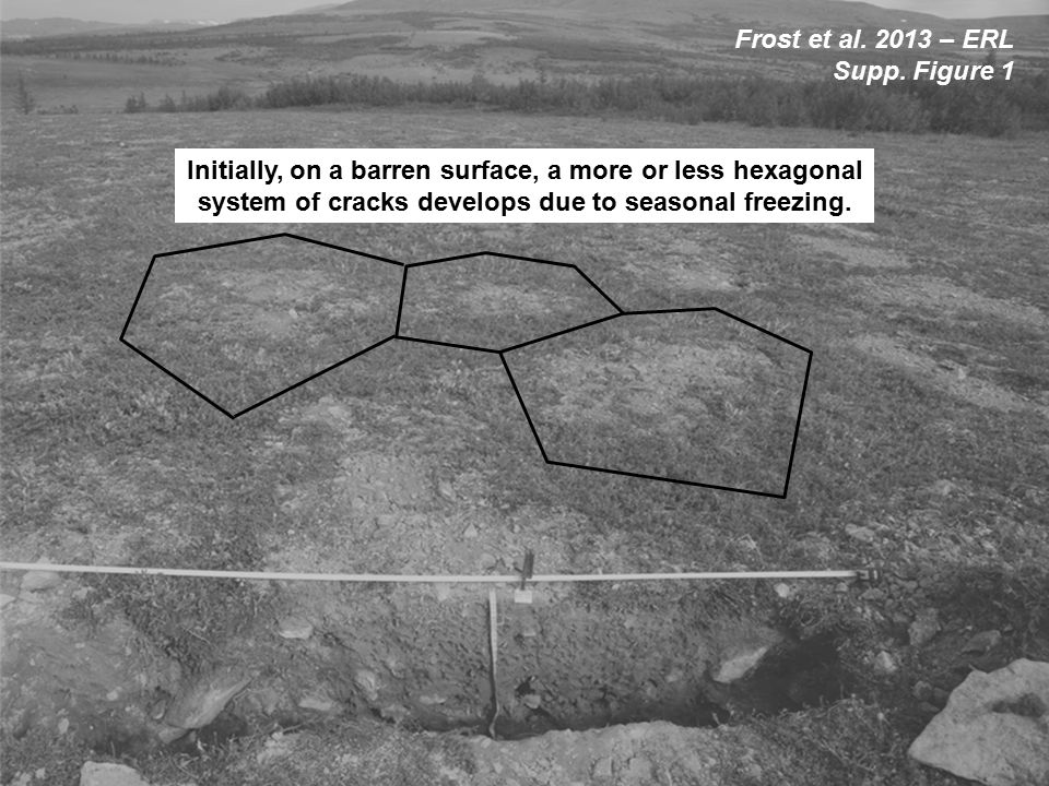 Initially, on a barren surface, a more or less hexagonal system of cracks develops due to seasonal freezing.