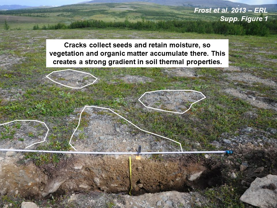 Cracks collect seeds and retain moisture, so vegetation and organic matter accumulate there.